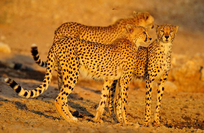 cheetahs-mar_9021_790